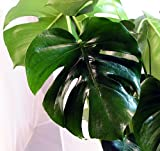 Split Leaf Philodendron 6' Pot - Monstera - Edible Fruit tastes like Pineapple
