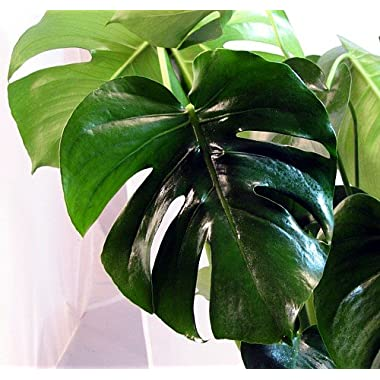 Split Leaf Philodendron 6  Hanging Basket - Monstera-Edible Fruit Like Pineapple