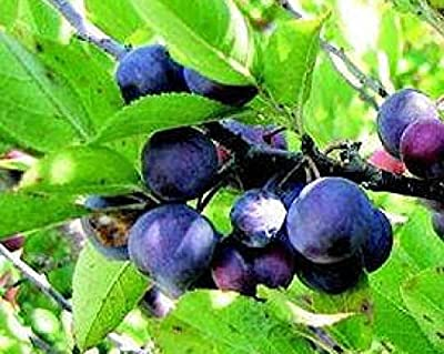 Legendary heirloom Beach Plum dwarf fruit tree on large shrub size LIVE PLANT