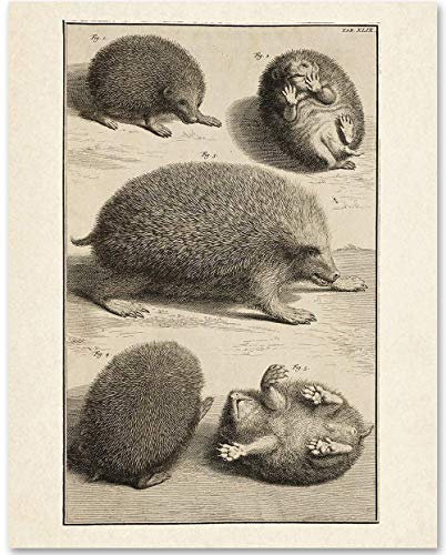 Hedgehog Illustration - 11x14 Unframed Art Print - Makes a Great Gift Under $15 for Pet Owners