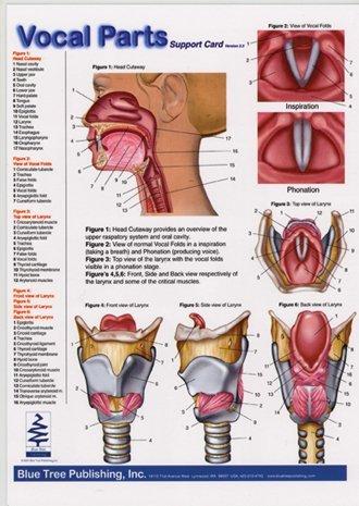 amazon com: vocal parts, pharynx & larynx anatomical chart, speech language  pathology visual double sided card for vocal folds and the larynx, slp,