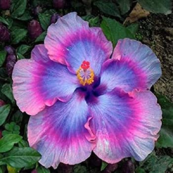 Amazoncom 10 Rare Black Pink Purple Hibiscus Seeds Black Rainbow