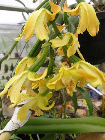 1 blühfähige Orchidee der Sorte: Chysis laevis, 16cm Topf