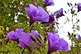 """Alyogyne huegelii Blue Hibiscus 2.5"""" Pot"""