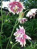 30 Seeds Aquilegia vulgaris 'Nora Barlow' (Columbine)