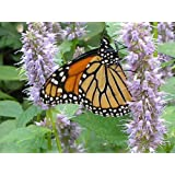 500 PURPLE ANISE HYSSOP (Licorice Mint / Blue Giant) Agastache Foeniculum HERB Flower Seeds