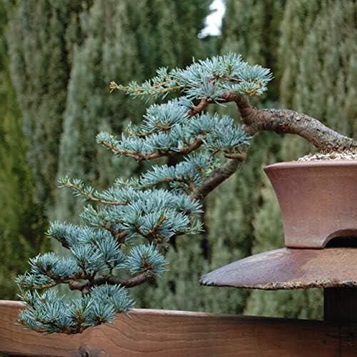 Amazon Com Blue Spruce Bonsai Tree Seeds For Planting 20 Seeds Popular Coniferous Tree For Bonsai Garden Outdoor