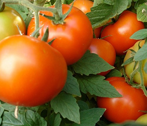 205+ Organic Bush Early Girl Tomato Seeds - DH Seeds - Large Tomatoes - UPC0687299670543