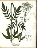 Tall Marsh Valerian 1843 antique hand color lithograph botanical print