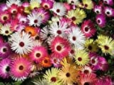 100+ Magic Carpet Mix Ice Plant Mesembryanthemum / Perennial Flower Seeds