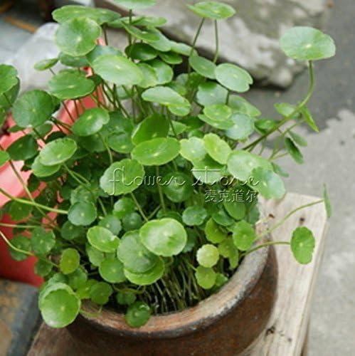 Vista 1 Package 20 Gotu kola Seeds High Germination Rate High Germination