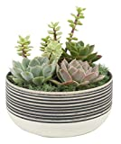 Costa Farms Live Indoor Cacti and Succulent Garden in White-Black Bliss Collection 6-Inch Ceramic Planter, Great Gift