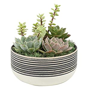 Costa Farms Succulents Fully Rooted, Mother's Day Gift Live Indoor Plant, 6-Inch Garden, in Ceramic Décor Planter