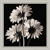 Gerber Daisies 2 by Michael Harrison Black White Photography 14x14 Wall Art Print Picture Framed