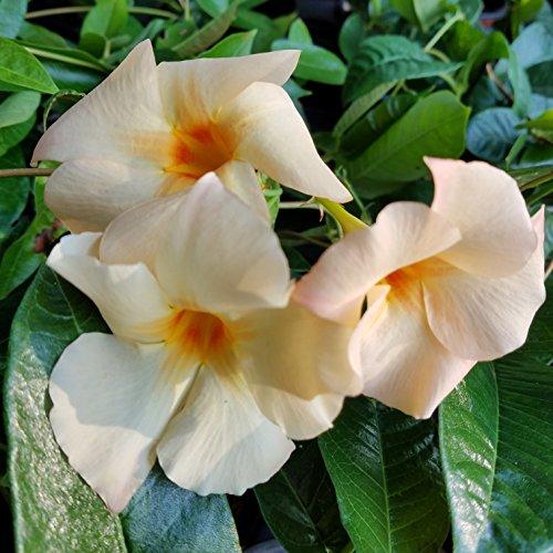 Sandys Nursery Online Mandevilla- 'Apricot' Sun Parasol Lot of 2 ~ Starter Plants~ by Sandys Nursery Online (Image #1)
