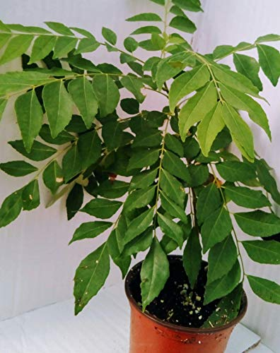 Curry Leaf Tree Edible tic Indian Plant Murraya Koenigii Pot #4