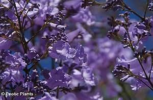 Exotic Plants Jacaranda mimosaefolia - blue Jacaranda tree - 100 seeds