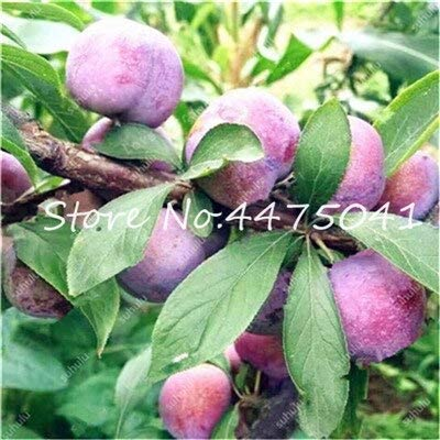 CUSHY 10 Graines Prunus cerasifera Mirabelle arbres fruitiers