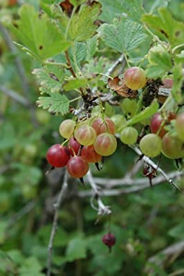 """-Red- PIXWELL GOOSEBERRY """"Great in Pies, Jams Jelly & Fresh"""" 15+Seeds"""