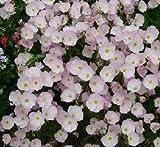 Oenothera (Sundrops) berlanderi Sissy Pink 2,000 seeds