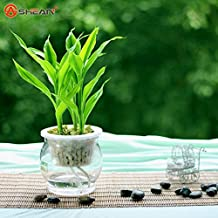 Purify the Air Dracaena Seeds Lucky Bamboo Small Potted Plants Planting is Simple 100 Particles / lot