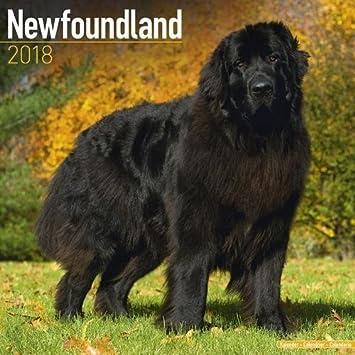 newfoundland-calendar-dog-breed-calendars-2017-2018-wall-calendars-16-month-by-avonside