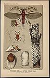 Orange Icerya Cotton Cushiony Scales c.1889 antique color lithograph print