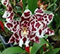 Lagerara Angel Baby 'Peppermint Stick' oncidium orchid in spike now
