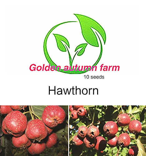 Golden autumn farm - 10 Hawthorn tree Seed -