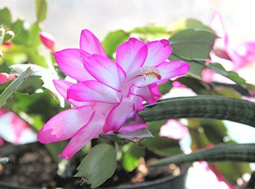 Christmas Cactus - CRISTEN - Schlumbergera - Easy to Grow - 5 Double Segments