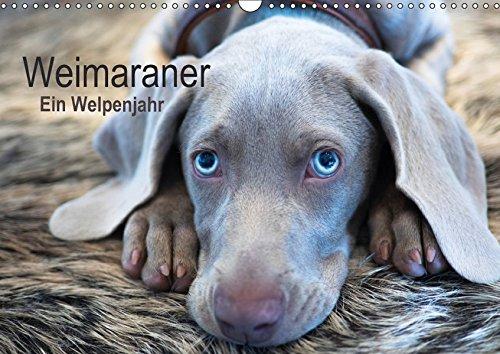 Weimaraner - Ein Welpenjahr (Wandkalender 2018 DIN A3 quer): Das erste Lebensjahr eines Weimaraners (Monatskalender, 14 Seiten ) (CALVENDO Tiere)