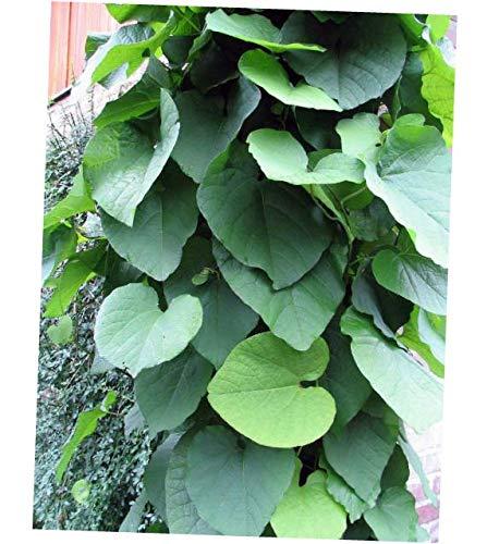 DVAA 2.5'' Pot Hardy Dutchman's Pipe Vine - Aristolochia durior - RK107