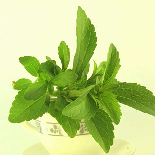 Outsidepride Stevia Sweetleaf Herb Plant Seeds - 50 Seeds