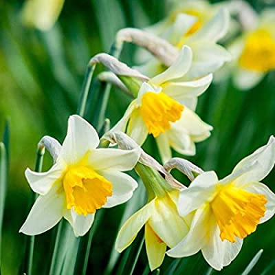 Lioder 50Pcs Mixed Double Narcissus Flower Seeds Bulbs Scented Daffodil Garden Perennial Decor Multicolor : Garden & Outdoor