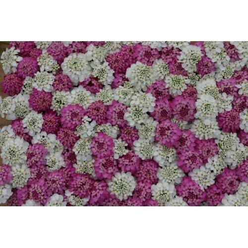 50+ IBERIS White and Pink Evergreen Candytuft Flower Seeds Mix/Deer Resistant#alph0009 ()