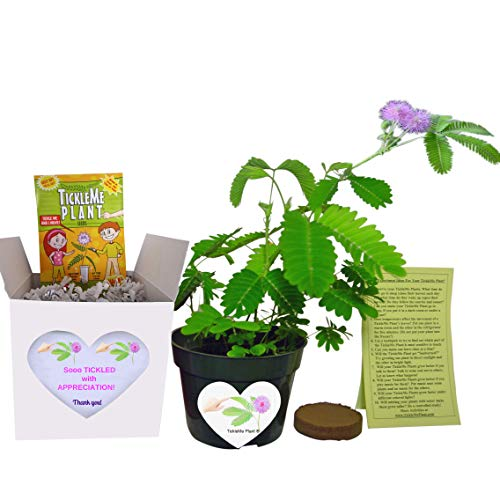 TickleMe Plant Fun Alternative to a Thank You Card. So Tickled with Appreciation Gift Box - Grow The House Plant That Closes Its Leaves and Lowers Its Branches When You Tickle It and Everyone Smiles.
