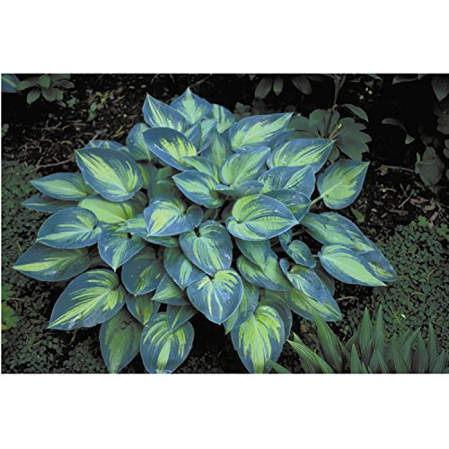 Hosta #039June#039  Quart Pot  Heavy  Healthy  Perennial  Ea 1 by Growers Solution