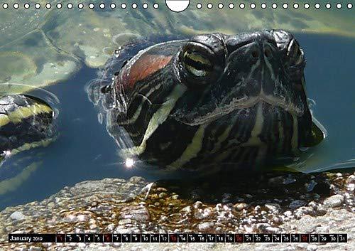 Tortugas y tortugas – chupetes blindados – más antiguos y más originales de todos los reptiles (calendario mensual...