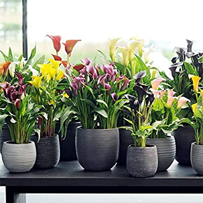 MelysUS 20 PCS Calla Lily Flower Seeds Peace Lily Spathiphyllum, Tabletop Plant, Garden Flower Bonsai Seeds Flowers