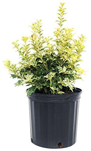 (Osmanthus heterophyllus 'Goshiki' (False Holly) Evergreen, #2 - Size Container )