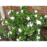 50 GARDENIA / CAPE JASMINE Jasminiodes White Shrub Flower SeedsComb S/H by Seedville