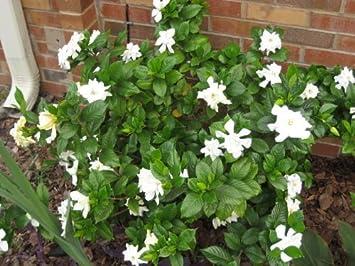 50 gardenia cape jasmine jasminiodes white shrub flower seeds 50 gardenia cape jasmine jasminiodes white shrub flower seeds comb sh by mightylinksfo