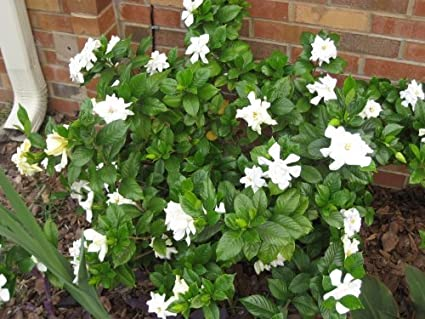 Amazon 50 gardenia cape jasmine jasminiodes white shrub 50 gardenia cape jasmine jasminiodes white shrub flower seedscomb sh by seedville mightylinksfo Images