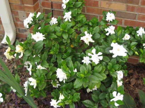 50 GARDENIA / CAPE JASMINE Jasminiodes White Shrub Flower SeedsComb S/H by Seedville (Cape Jasmine Gardenia)