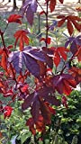 50 Seeds of Cranberry Hibiscus - False Roselle - Edible Leaves and Flowers
