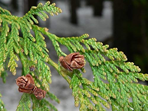 Western Red Cedar | Medium Tree Seedling | The Jonsteen Company