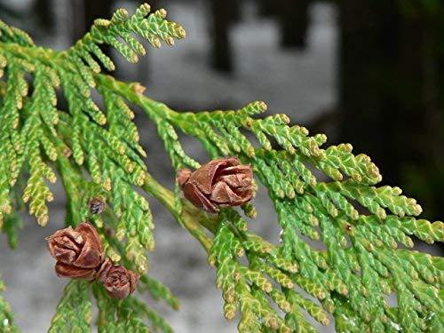 Western Red Cedar | Medium Tree Seedling | The Jonsteen Company