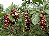 10 Seeds Antidesma venosum Tassel Berry Small Fruit Tree