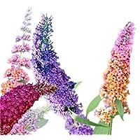 Butterfly Bush Seeds (Buddleia davidii) Vibrant Mix + 1 Free Plant Marker (100)