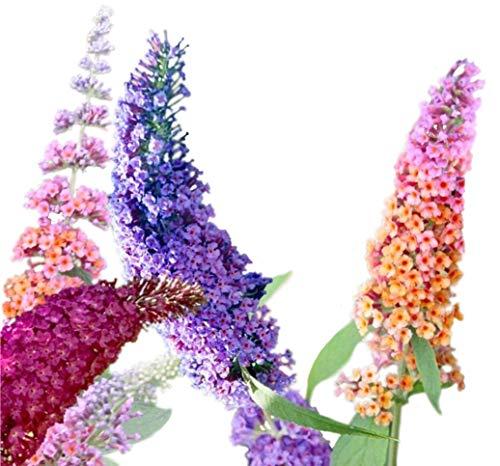 (Butterfly Bush Seeds (Buddleia davidii) Vibrant Mix + 1 Free Plant Marker (100) )